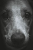 Dog. Close-up /The dog called Pitty/black-and-white Stock Images