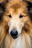 Dog close up. Long haired dog Royalty Free Stock Photography