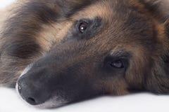 Dog, close up of nose and eyes Stock Photos