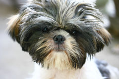 Dog. Close-up portrait of Shih tzu dog Stock Image