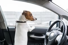 A dog in the closed car looks out of the window. Back view royalty free stock photos