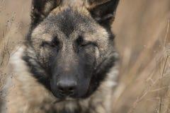 Dog with closed eyes Stock Image