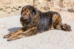 Dog. Closeup of a Estrela Mountain Dog Royalty Free Stock Photo