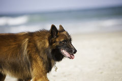 Dog closeup near the ocean Royalty Free Stock Photo