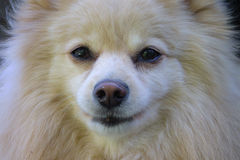 Dog - Closeup Portrait. Is he a Spitz or a Pomeranian - you decide royalty free stock photo