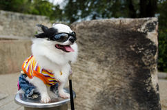 Dog with clothes royalty free stock images