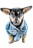 Dog with clothes Royalty Free Stock Photo