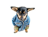 Dog with clothes Royalty Free Stock Image