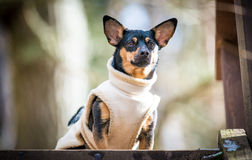 Dog with clothes funny Royalty Free Stock Image
