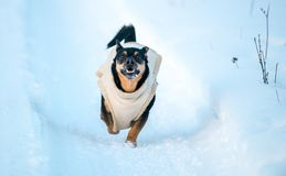 Happy dog run in winter. Dog with clothes run in winter snowy path stock photos