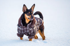 Dog with clothes. In winter standing Royalty Free Stock Image