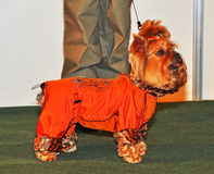 dog in clothes Stock Image