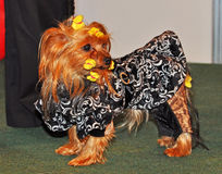 Dog in clothes royalty free stock photography