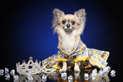In dog clothesChihuahua in dog clothes stock photography
