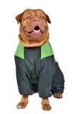 Dog clothing Stock Photo