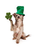 Dog With Clover and Green Hat Royalty Free Stock Photography