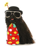 Dog clown. Dog dressed like a clown - corded puli wearing clown costume on white background Stock Image