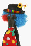 Dog clown. Standard poodle wearing clown wig, hat and tie on white background Stock Photos
