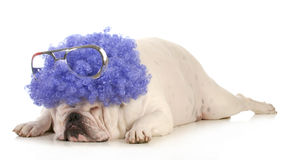 Dog clown. Bulldog dressed up like a clown with purple wig Stock Photos