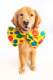 Dog Clown. A happy golden retriever dog wearing a colorful polka dot clown tie Royalty Free Stock Photos