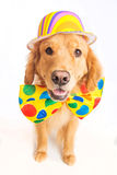 Dog Clown. A happy golden retriever dog wearing a colorful polka dot clown tie Royalty Free Stock Images