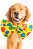 Dog Clown. A happy golden retriever dog wearing a colorful polka dot clown tie Stock Photography