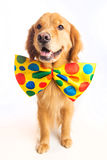 Dog Clown. A happy golden retriever dog wearing a colorful polka dot clown tie Royalty Free Stock Photography