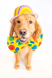 Dog Clown. A happy golden retriever dog wearing a colorful polka dot clown tie Stock Image