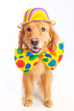 Dog Clown Jester. A happy golden retriever dog wearing a colorful polka dot clown tie Royalty Free Stock Image