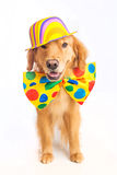 Dog Clown Jester. A happy golden retriever dog wearing a colorful polka dot clown tie Royalty Free Stock Images