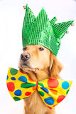 Dog Clown Jester. A happy golden retriever dog wearing a colorful polka dot clown tie and jester hat Royalty Free Stock Image