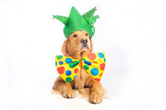 Dog Clown Jester. A happy golden retriever dog wearing a colorful polka dot clown tie and jester hat Royalty Free Stock Photo