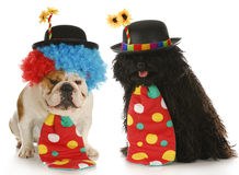 Dog clowns. Clowns - english bulldog and puli dressed up like clowns on white background Royalty Free Stock Photo