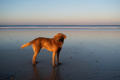 Dog at the coast of Sidi Kaouki, Morocco, Africa. Sunset time. morocco`s wonderfully surf town. Dog at the coast of Sidi Kaouki, Morocco, Africa. Sunset time stock images