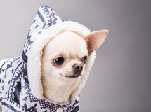 Dog in a coat Stock Image
