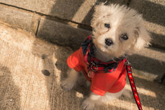 Dog with a coat. New Born Puppy Dog with a Red Coat Stock Images