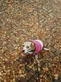 Dog with coat taking a walk down the street in autumn stock photo