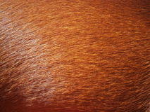 Dog coat texture. Macro photo of dog coat - texture Stock Images