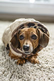 Dog coats Stock Photos