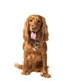 Dog cocker isolated on white Stock Image