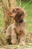 Dog, Cocker Spaniel Royalty Free Stock Photos