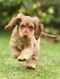 Dog, Cocker Spaniel Stock Photos