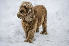 Dog Cocker Spaniel breed in the snow royalty free stock image