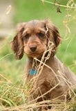 Dog, Cocker Spaniel Royalty Free Stock Images