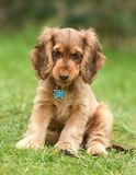 Dog, Cocker Spaniel Royalty Free Stock Photography