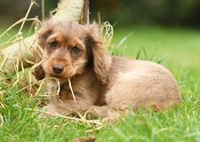 Dog, Cocker Spaniel. A cocker Spaniel dog in a field Stock Images