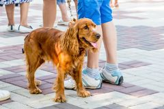 Dog cocker spaniel with owner while walking in city park. A fa stock photos