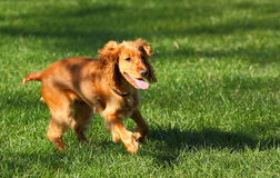 Dog running. A dog Cocker Spaniel running outside on green grass Stock Images