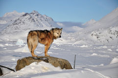 Dog in cold winter, Greenland. Dog for a sledging, Kulusuk village, winter,Greenland Royalty Free Stock Photos