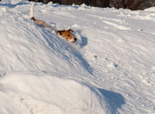 Dog collapses into snowdrift. Jack Russell Terrier playing at winter park Stock Photos